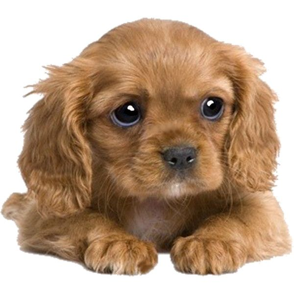 Cute Puppy Png (+).