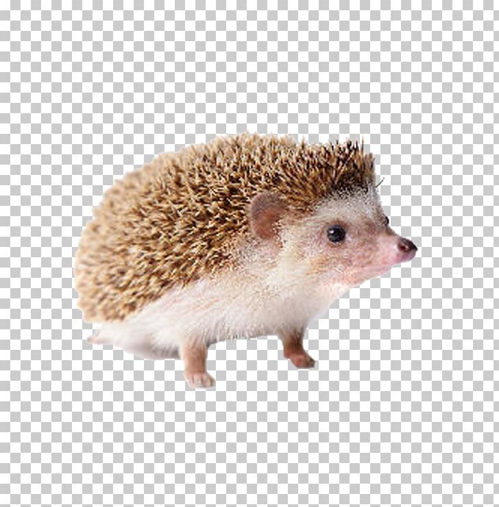 Domesticated hedgehog Four.