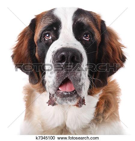 Stock Photography of Cute Saint Bernard Purebred Puppy k7345100.