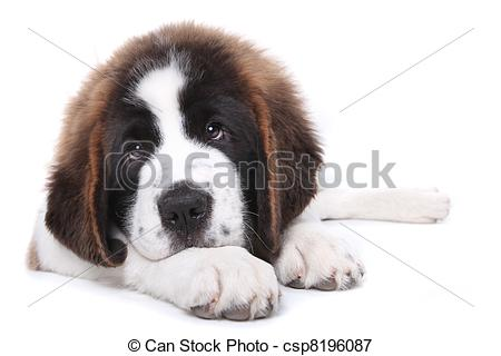 Picture of Cute Saint Bernard Purebred Puppy.