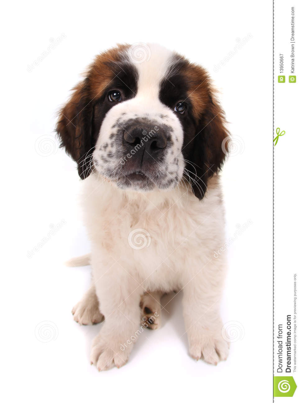 Cute Saint Bernard Puppy On White Royalty Free Stock Photography.