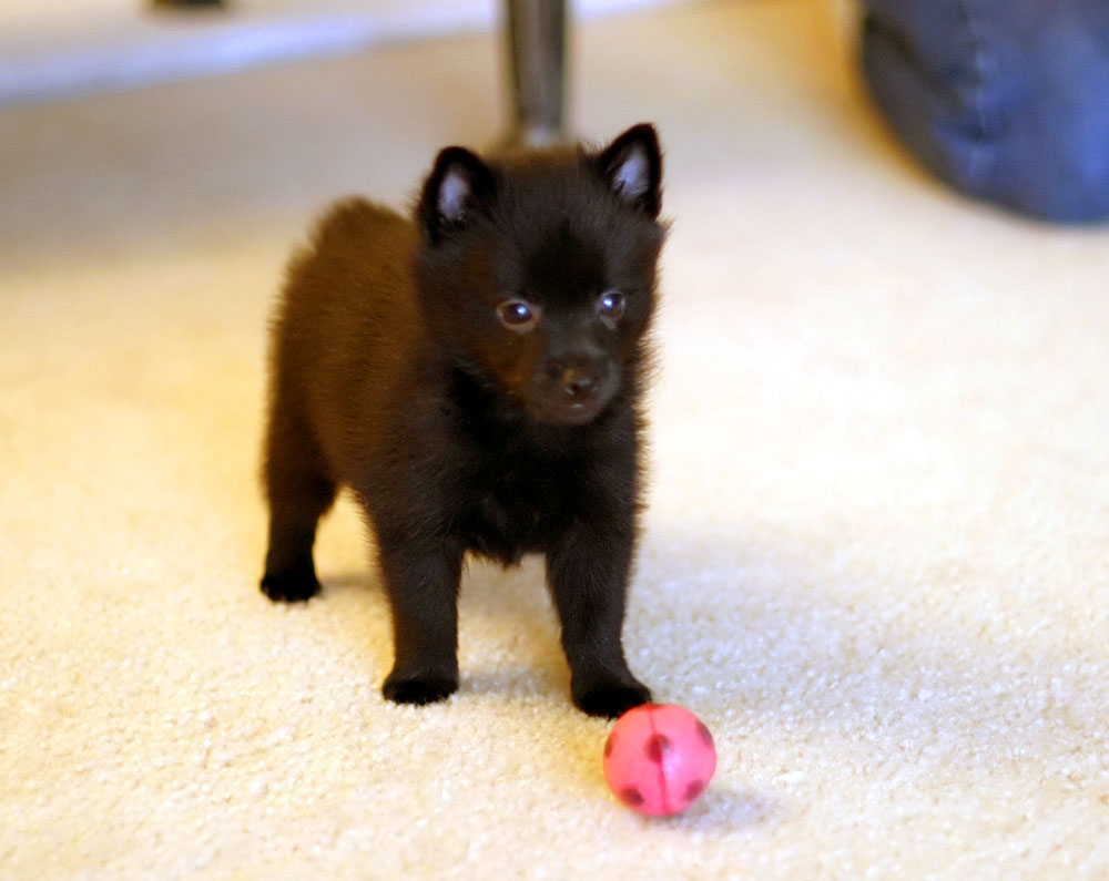 195 best images about Schipperke on Pinterest.
