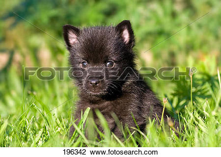 Stock Photo of Schipperke Puppy (5 weeks old) sitting in grass.