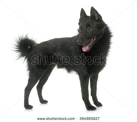 Schipperke Stock Images, Royalty.