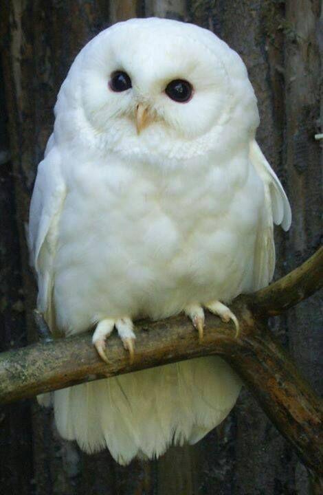 Snowy Owl clipart big eye #14.