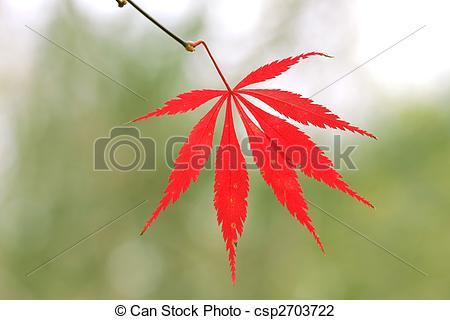 Stock Photo of Cutleaf Japanese Maple.