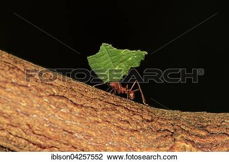 Stock Photo of Leafcutter ant (Atta sexdens) transporting cut leaf.