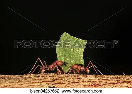 Stock Photo of Leafcutter ants (Atta sexdens) transporting cut.