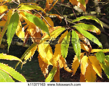 Stock Photo of Autumnal leaves of the Cutleaf European Beech.