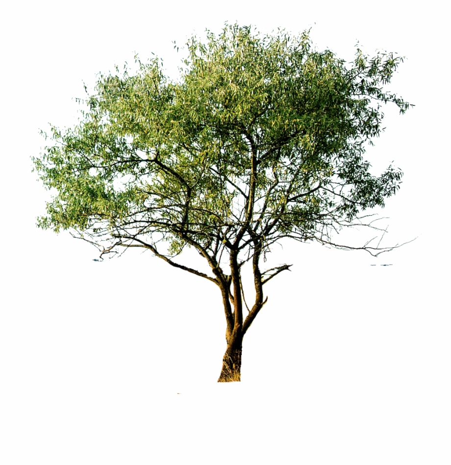 Png Cutout Tree.