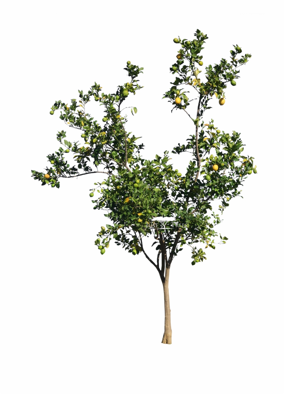 Freeware Lemon Tree Png.