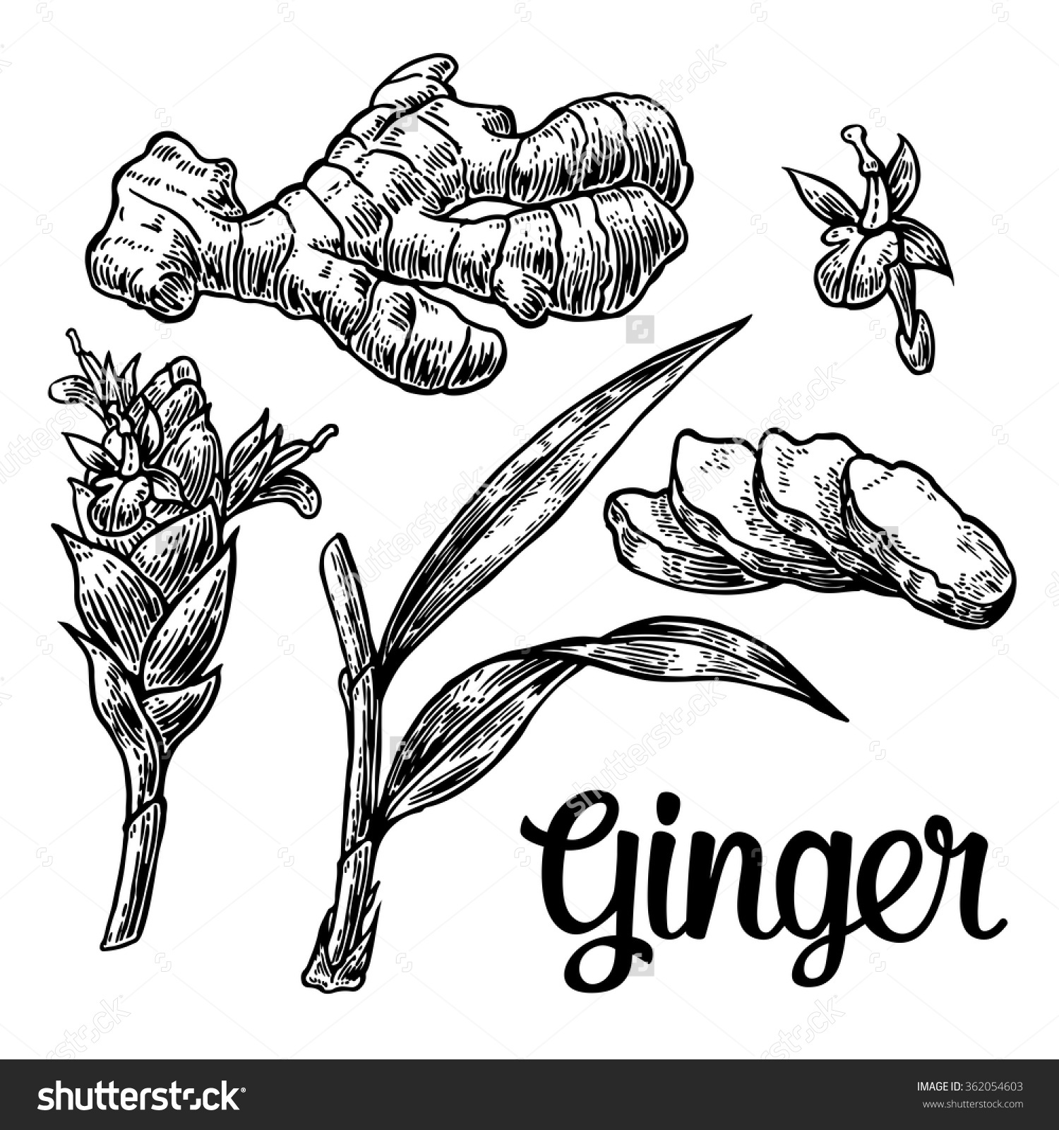 Ginger Root Cutting Leaves Flower Buds Stock Vector 362054603.