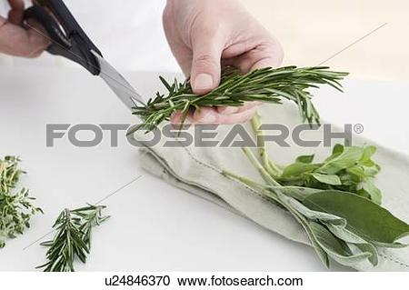 Stock Photography of Hands cutting culinary herbs u24846370.