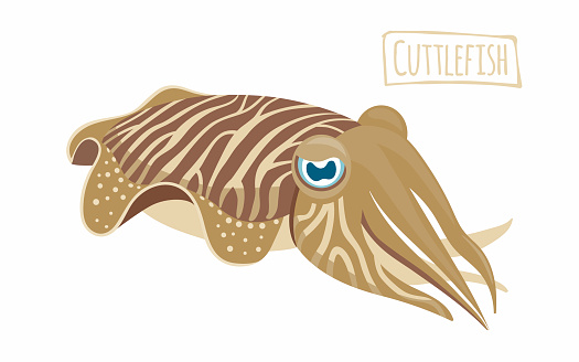 Cuttlefish Clip Art, Vector Images & Illustrations.
