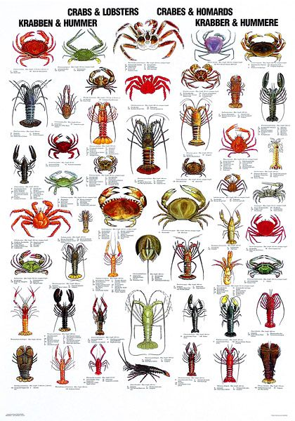 Octopus, Squid & Cuttlefish Poster.