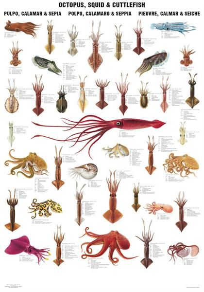 1000+ ideas about Octopuses on Pinterest.