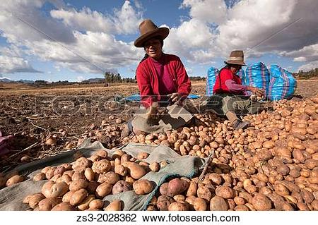 Stock Photo of Indigenous women of Sacred Valley picking up.