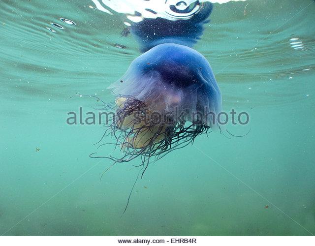 Jelly Fish Seashore Stock Photos & Jelly Fish Seashore Stock.