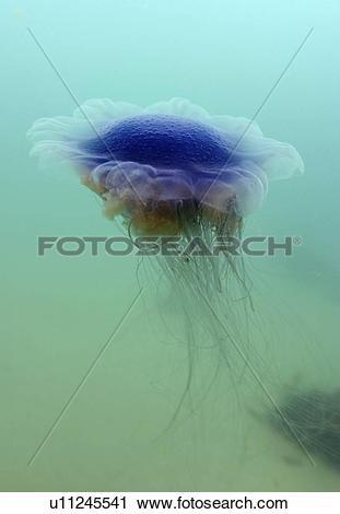 Stock Photography of Jellyfish (Cyanea lamarckii). UK u11245541.