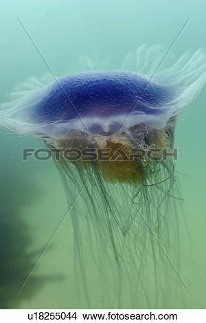 Stock Photo of Jellyfish (Cyanea lamarckii). UK u18255044.