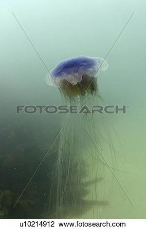Stock Photo of Jellyfish (Cyanea lamarckii). Jersey, British Isles.