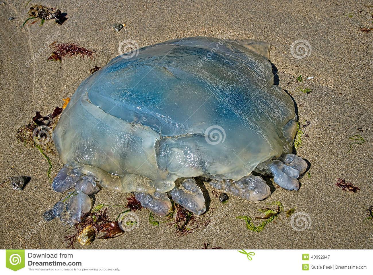 Blue Jellyfish.