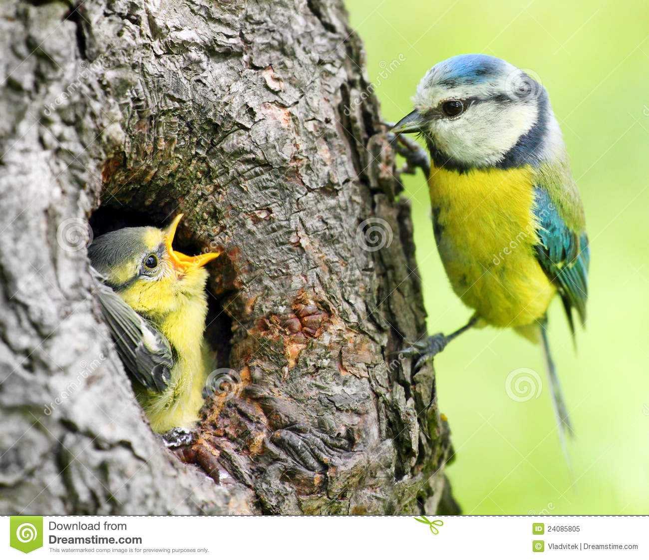 The Blue Tit (Cyanistes Caeruleus) Royalty Free Stock Photo.