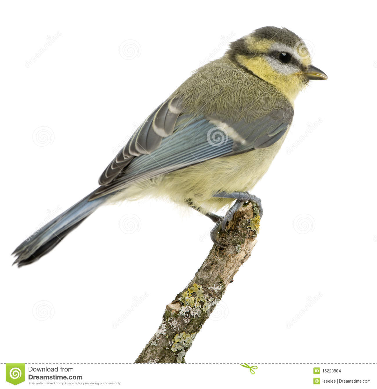 Young Blue Tit, Cyanistes Caeruleus, Perched Stock Images.