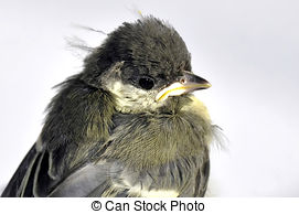 Stock Images of Blue Tit (Cyanistes caeruleus) Fledgling.