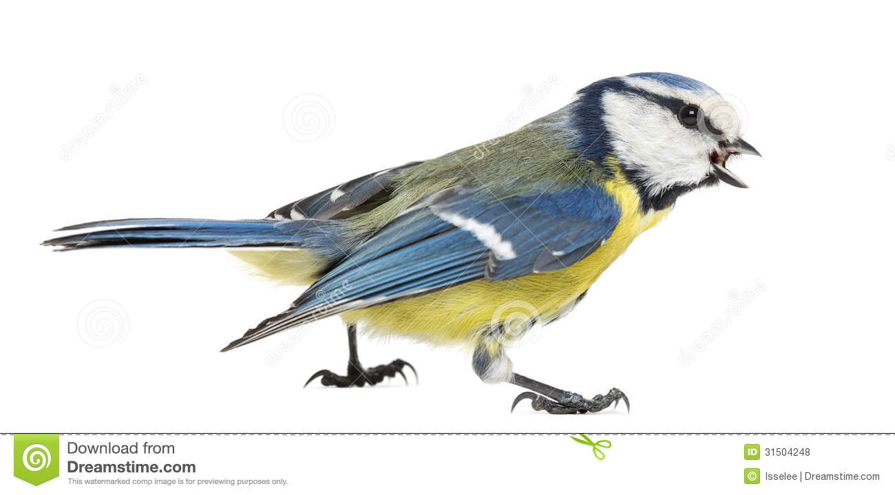Side View Of A Whistling Blue Tit, Cyanistes Caeruleus Royalty.