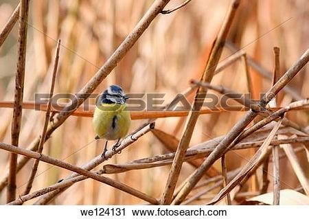 Stock Photography of Blue tit.