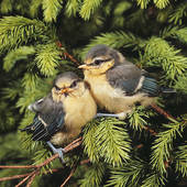 Stock Photography of two young Blue tits on twig / Cyanistes.