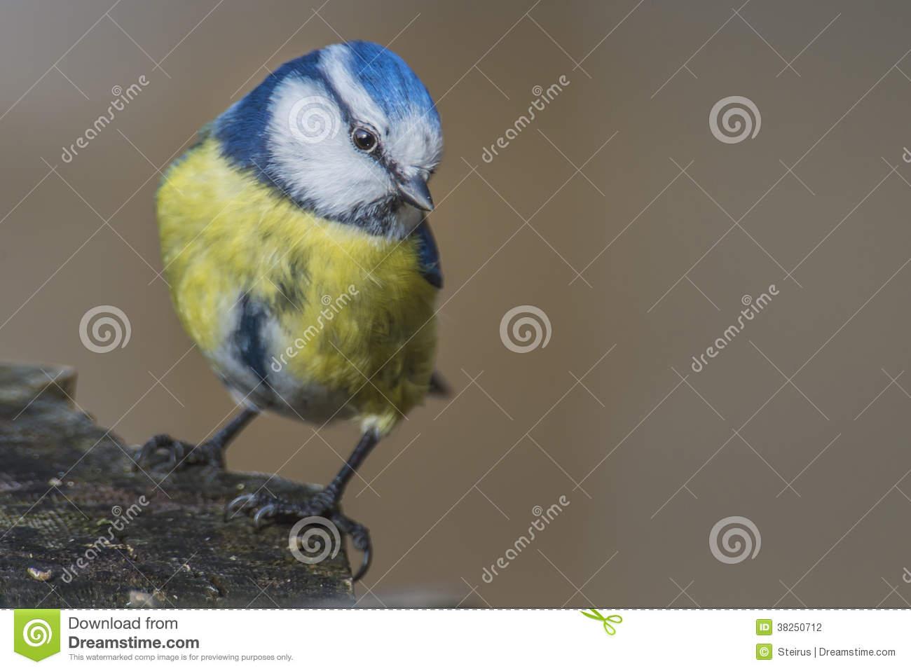 Eurasian Blue Tit (Cyanistes Caeruleus Or Parus Caeruleus) Stock.