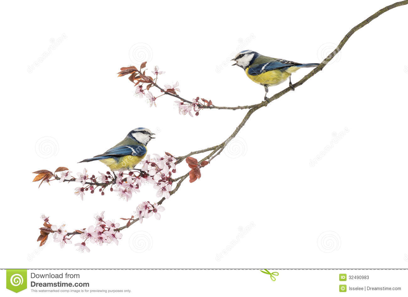 Two Blue Tits Whistling On A Flowering Branch, Cyanistes Caeruleus.