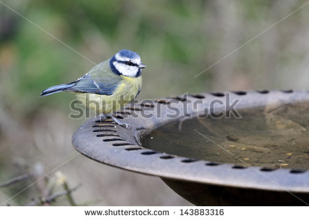 Blue Tit Stock Photos, Royalty.