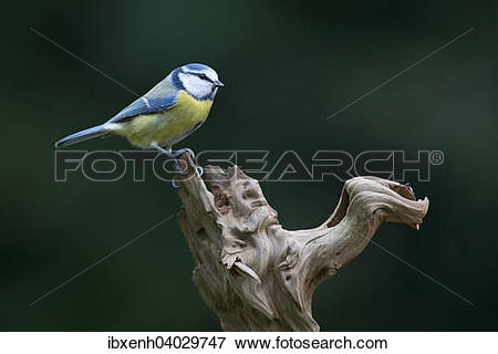 """Picture of """"Blue Tit (Cyanistes caeruleus, syn Parus caeruleus."""