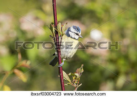 "Stock Photo of ""Blue Tit (Cyanistes caeruleus syn Parus caeruleus."