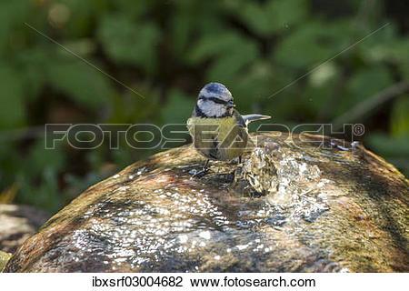 "Stock Photo of ""Blue Tit (Cyanistes caeruleus syn Parus caeruleus."