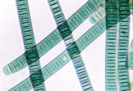 Phylum Cyanobacteria.