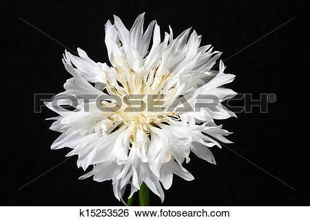 Stock Images of Blooming white corn flower (Centaurea cyanus.