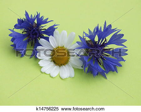 Stock Image of Centaurea cyanus, single flowers on k14756225.