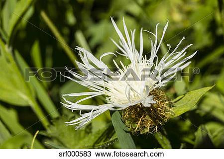 Stock Photo of Bossom of white cornflower, Centaurea cyanus, in.