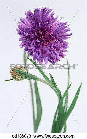 Stock Photo of Cornflower (Centaurea cyanus) cd136073.