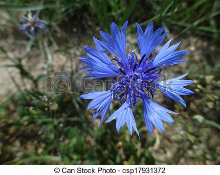 Picture of Cornflower (Centaurea cyanus) csp17931372.