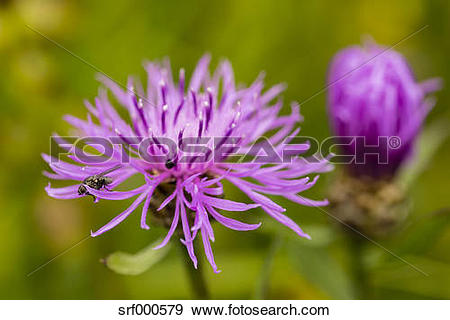 Stock Photograph of Two blossoms of violet cornflower, Centaurea.