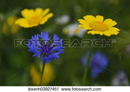 "Stock Photography of ""Cornflower (Centaurea cyanus) and Corn."