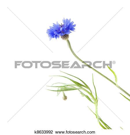 Stock Photo of cornflower (Centaurea cyanus , Bachelor's button.