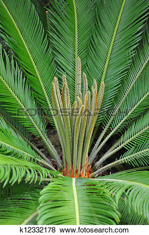 Pictures of Cycad palm (Cycas) k12332178.