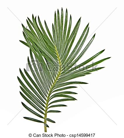 Stock Photography of Cycad leaf csp14599417.