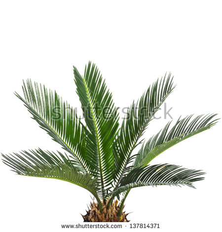 Cycas Revoluta Stock Photos, Royalty.
